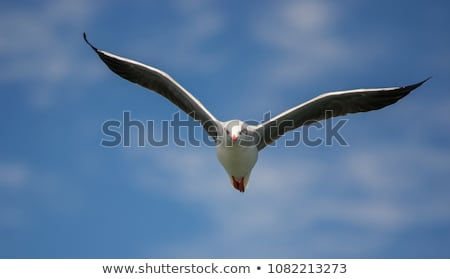 seagull flying and looking into camera stock photo © mrakor