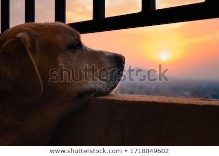 Citromsárga labrador retriever aranyos kutya ül izolált Stock fotó © silense