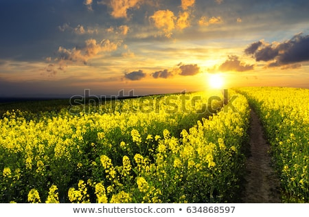 Field of canola plants Stock photo © artistrobd