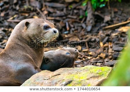 Otters living by the river Stock photo © bluering