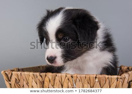 子犬 オーストラリア人 羊飼い 標準 白 スタジオ ストックフォト © vauvau
