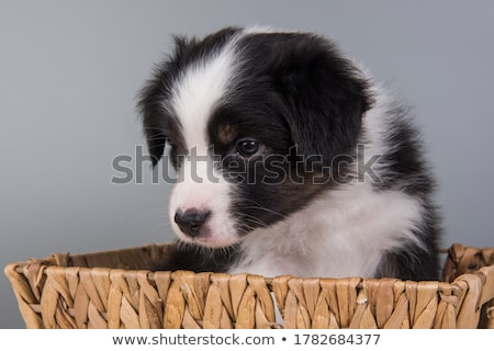 Puppy Australian shepherd standard in white studio Stock photo © vauvau