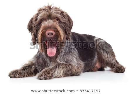 Stock photo: German Pointer lying on the white studio floor and looking into