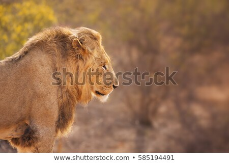 Side profile of a Lion in the Kruger National Park. Stock photo © simoneeman