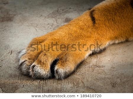 tigre · pata · mascote · gráfico · vetor · imagem - foto stock © robuart