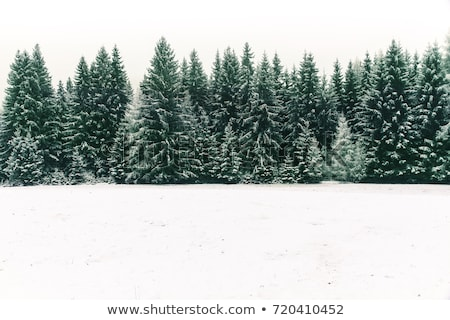 tree evergreen trees covered with snow winter stock photo © robuart