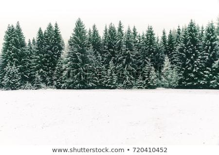 Fa örökzöld fák fedett hó tél Stock fotó © robuart