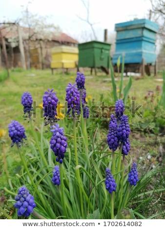 ブドウ マクロ 青 ヒヤシンス 庭園 緑 ストックフォト © hamik