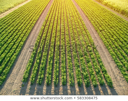 Aerial view of cultivated maize field from drone Stock photo © stevanovicigor