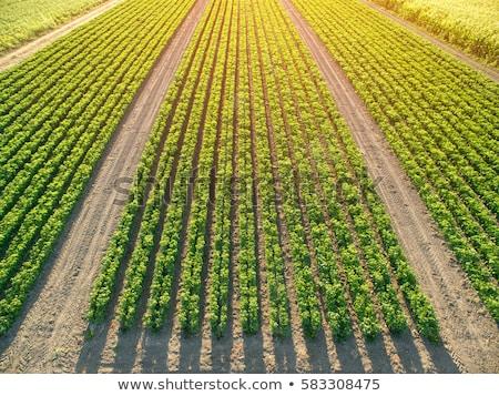 megművelt · kukorica · termény · mező · felső · kilátás - stock fotó © stevanovicigor