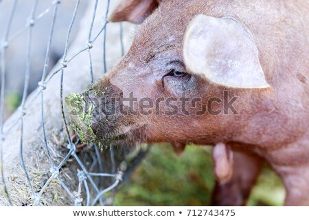 Red Wattle hog (Sus scrofa domesticus) close-up. Stock photo © yhelfman