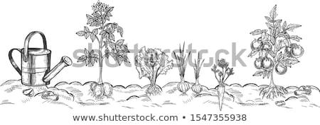 Lechuga agricultura vegetales crecimiento jardinería Foto stock © IS2