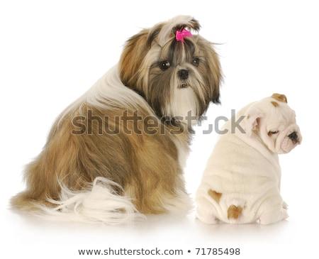 back view of two english bulldog puppies looking away  Stock photo © feedough