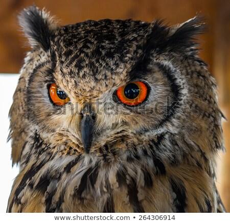 Portret uil Rood ogen natuur oranje Stockfoto © stefanoventuri
