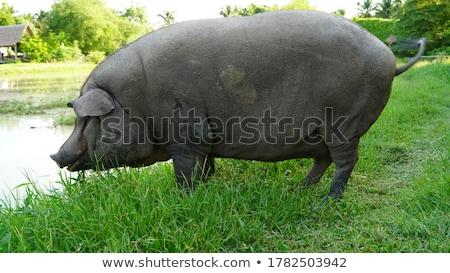 Porco campo outono imagem fazenda cor Foto stock © taviphoto