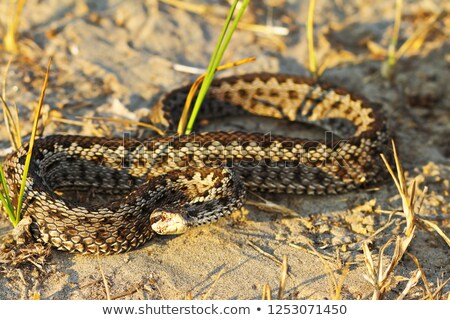 full length moldavian meadow viper stock photo © taviphoto