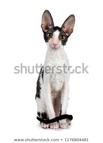 black bicolor Cornish Rex cat Stock photo © CatchyImages