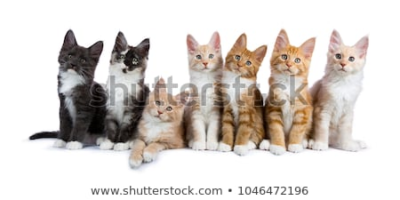 Naughty blue and white Maine Coon cat / kitten isolated on white background.  Stock photo © CatchyImages