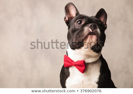 french bulldog with red bowtie looking away Stock photo © feedough