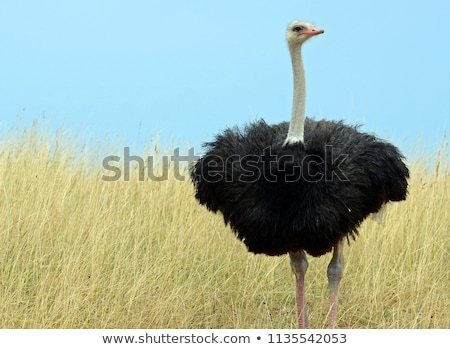 Common ostrich Struthio camelus with pink bill, long lashes over Stock photo © galitskaya