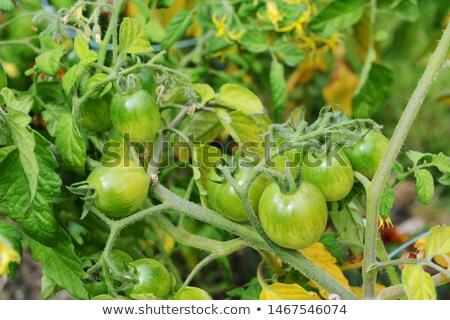 Zöld paradicsomok piros éber választék űrlap Stock fotó © sarahdoow