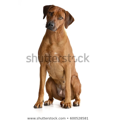 Studio shot of an adorable Rhodesian ridgeback Stock photo © vauvau