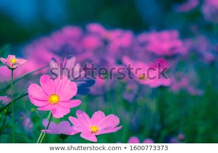 Oscuro rosa flores suave pastel naturaleza Foto stock © Sandralise