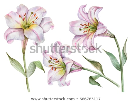 Blüte · rosa · Lilie · weiß · Blume · Blatt - stock foto © Anson Lu ...