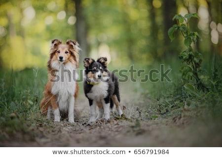Two dogs sitting. Stock photo © iofoto