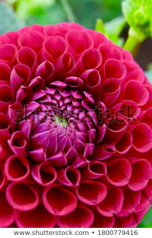 Yellow Orange Dahlia close Stock photo © bobkeenan