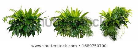 Pine bushes Stock photo © vtorous