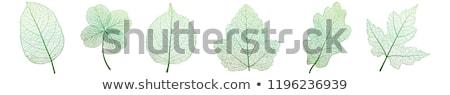 Yaprak damar yeşil yaprak atış Stok fotoğraf © devon