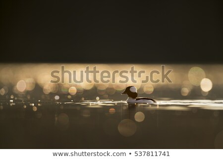 duck male on calm water stock photo © redpixel