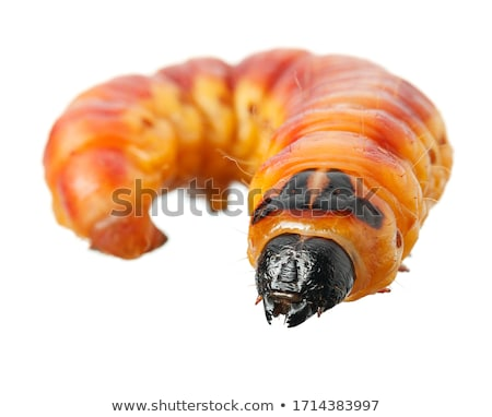 big moth caterpillar Stock photo © smithore