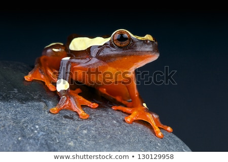 Clown Tree Frog Stock photo © macropixel
