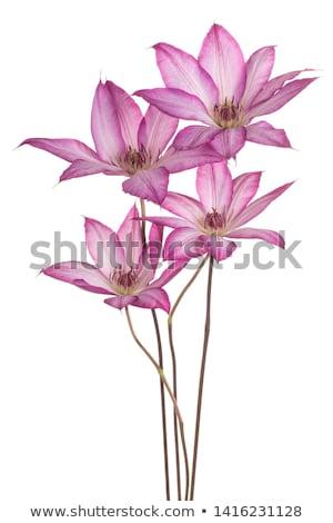 lila · virágok · természetes · textúra · természet · fény - stock fotó © saddako2