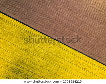 Violación campo petróleo semillas cielo azul pequeño Foto stock © hraska