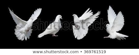 Siyah Beyaz Güvercin örnek Zeytin Dal Vektör