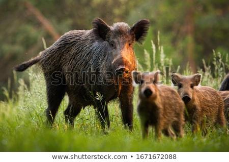 небольшой · пер · соломы · животного · сельского · хозяйства · свиней - Сток-фото © nelsonart