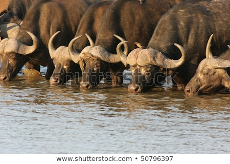african buffalo drinking stock photo © fouroaks