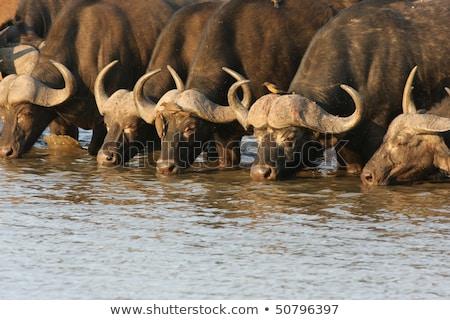アフリカ 飲料 牛 立って 水 ストックフォト © fouroaks