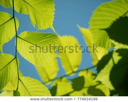 Branch of green beech leaves against blue sky and sun Stock photo © jaycriss