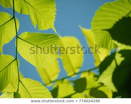 tak · groene · bladeren · blauwe · hemel · zon · voorjaar - stockfoto © jaycriss
