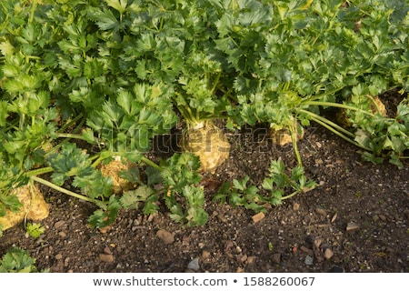 Healthy Organic celeriac Stock photo © Klinker