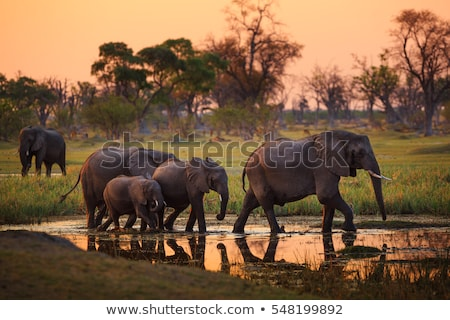 africano · arbusto · elefante · rebanho · elefantes · savana - foto stock © prill