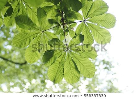 Detail groen blad Maakt een reservekopie licht aderen blad Stockfoto © AlessandroZocc