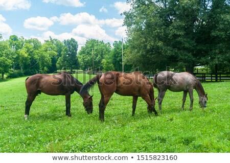 lovas · ló · legelő · nők · fiatal · állat - stock fotó © master1305