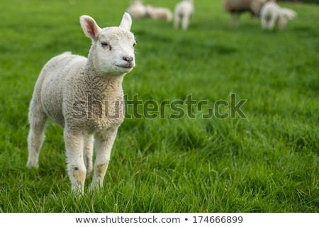 пару молодые весны копия пространства животные овец Сток-фото © rekemp