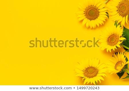 Amarelo girassóis azul sem nuvens céu flor Foto stock © vtls