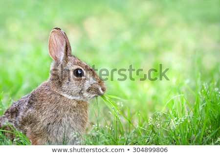 Cottontail bunny rabbit eating grass in the garden Stock photo © inxti